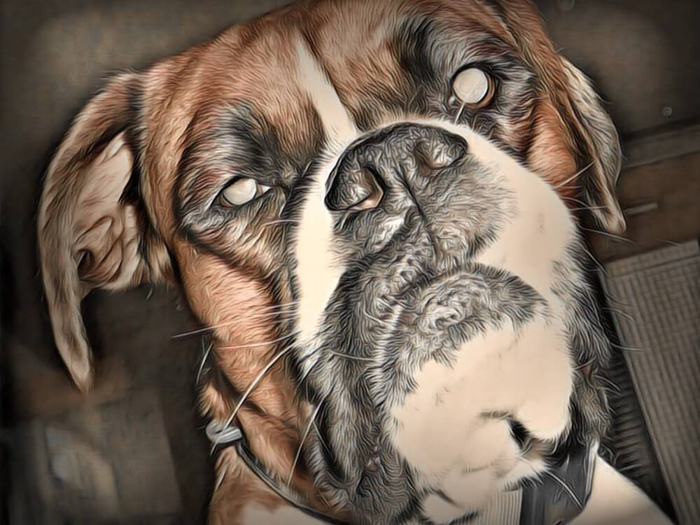 great boxer dog picture