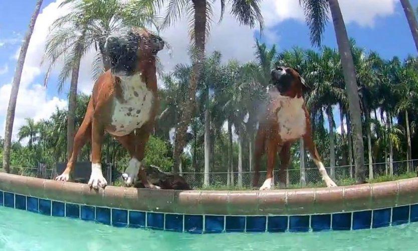 crazy boxer dogs playing in the water video