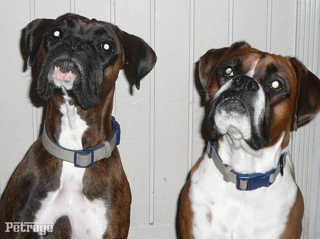 boxer dogs picture