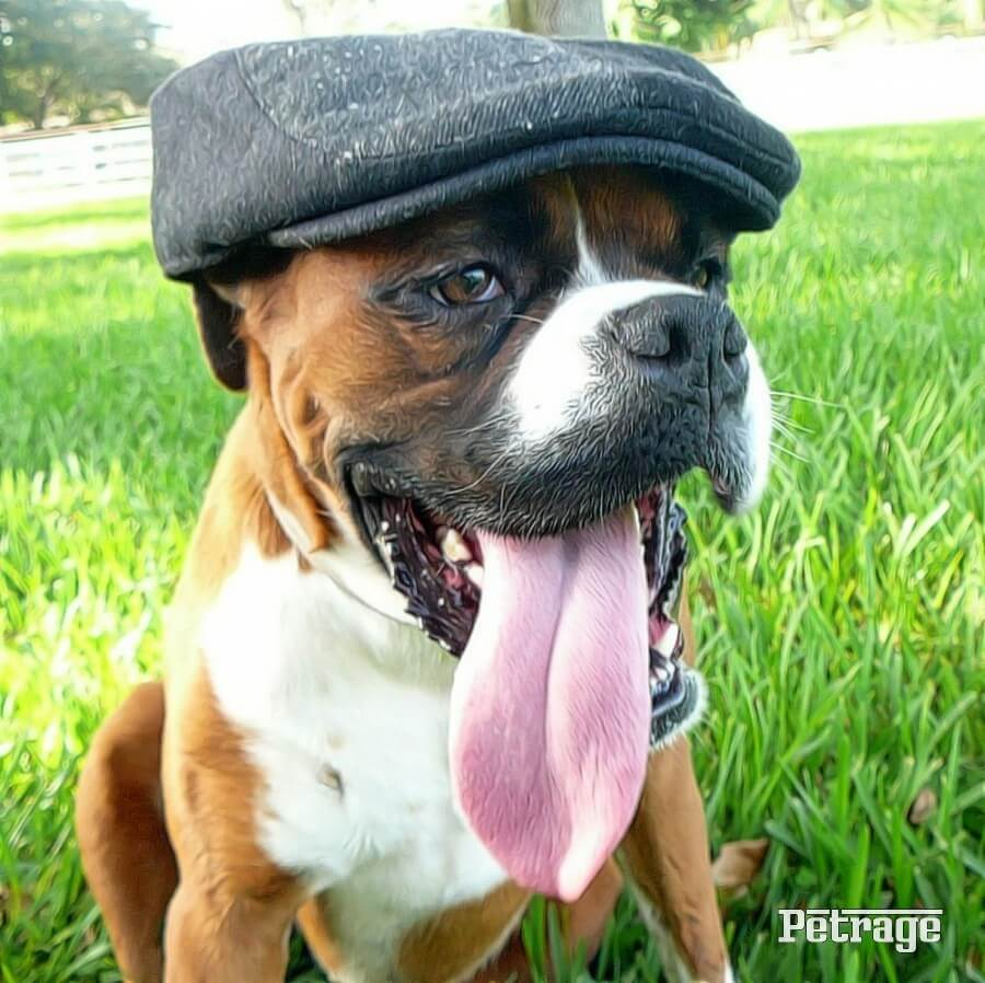 boxer dog in a pug cap image