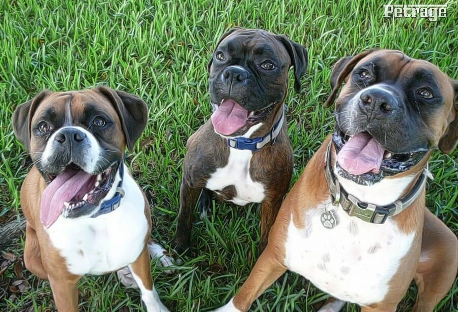share boxer dog pictures