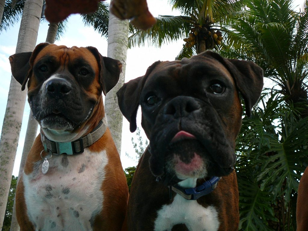 image of three boxer dogs