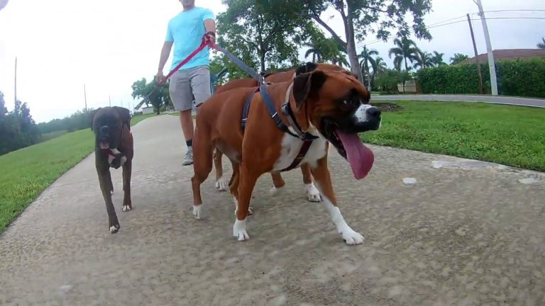 three boxer dogs on a walk
