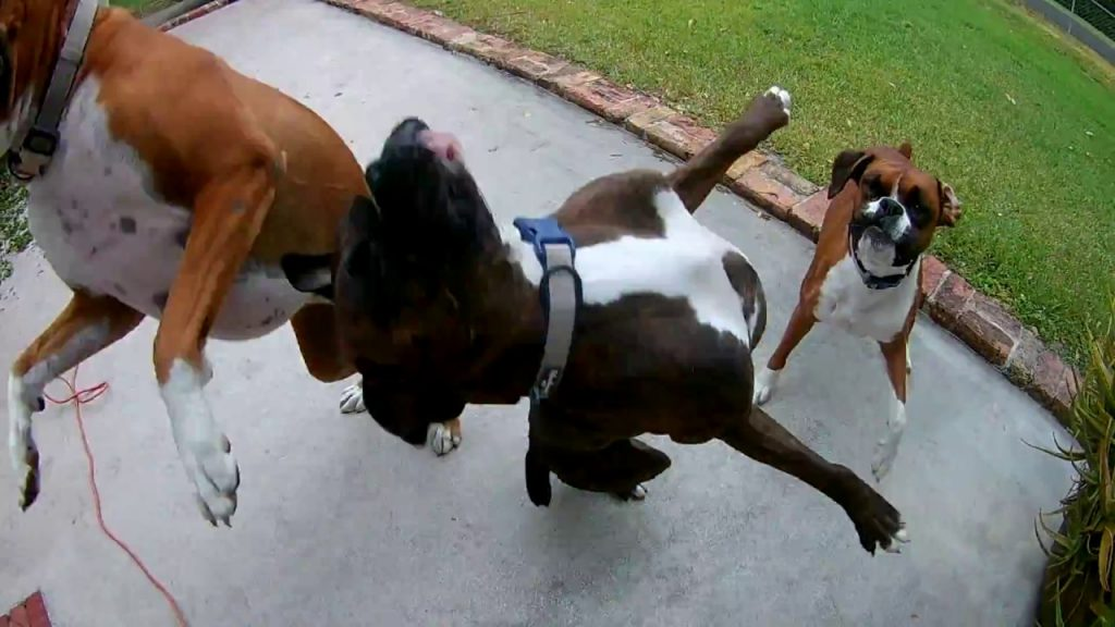 boxer dogs and a blower video