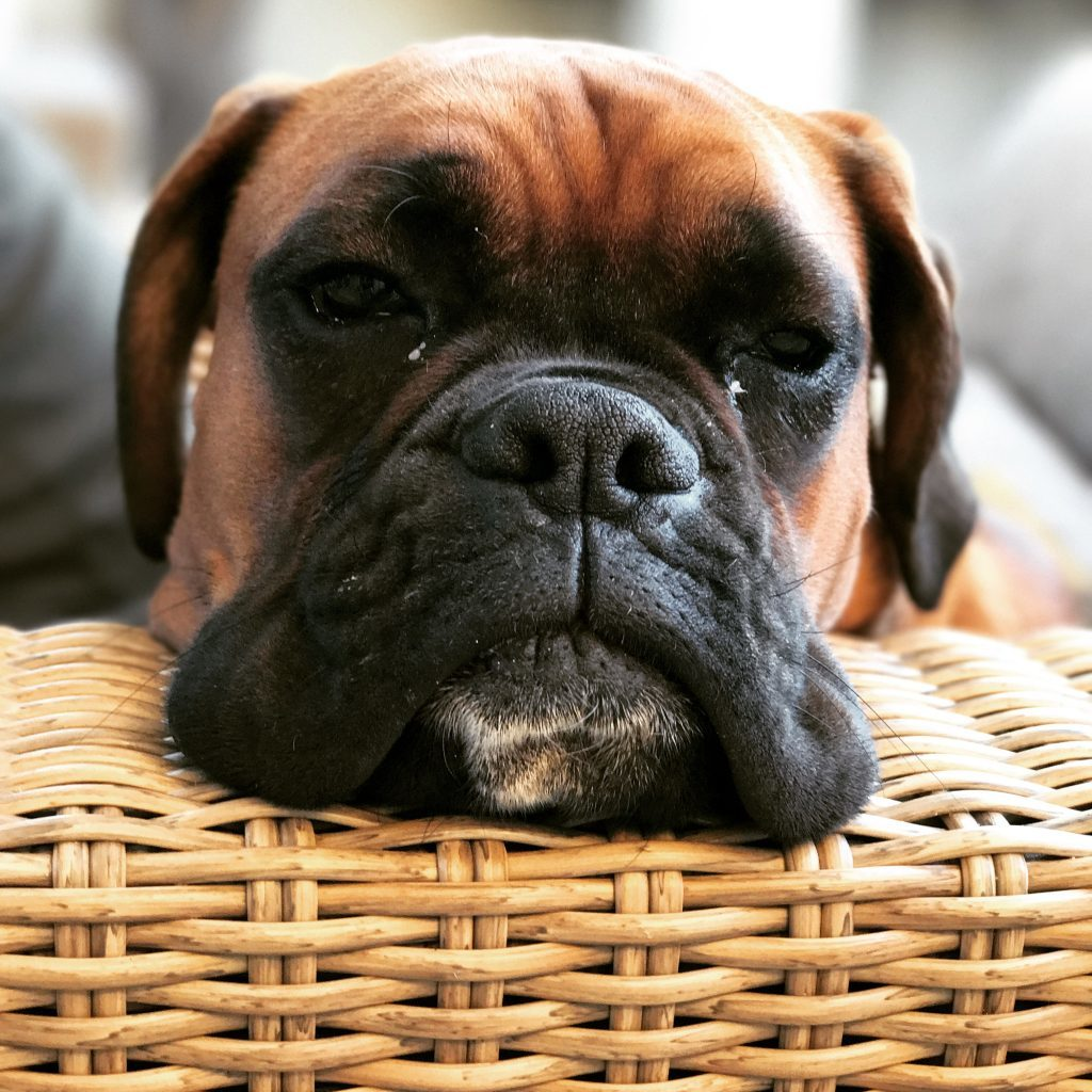 boxer dog image chill face