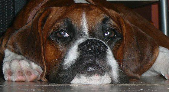 picture of cute boxer dogs