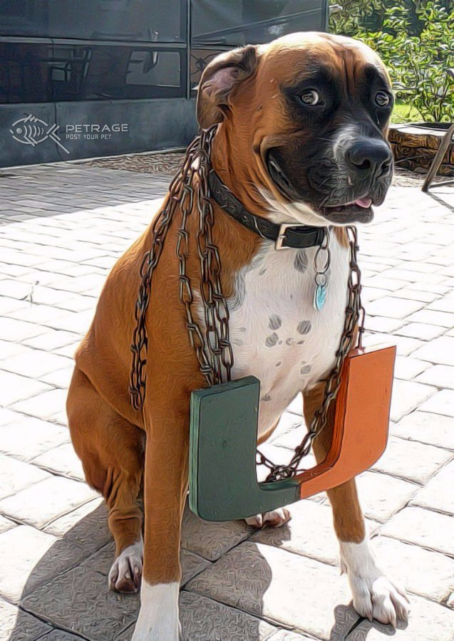 boxer dog wearing turnover chain