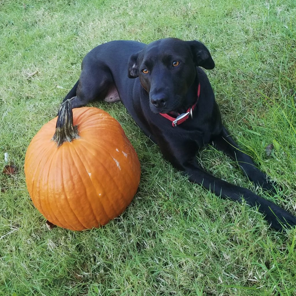 dog and pumpkin picture petrage