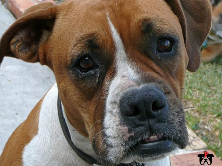 boxer dog image scooterbee