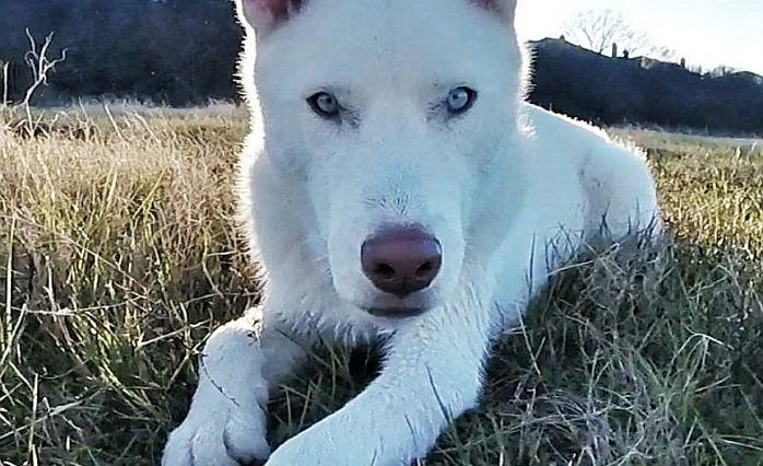 handsome husky picture