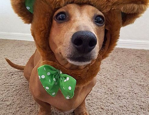 dachshund picture bear costume