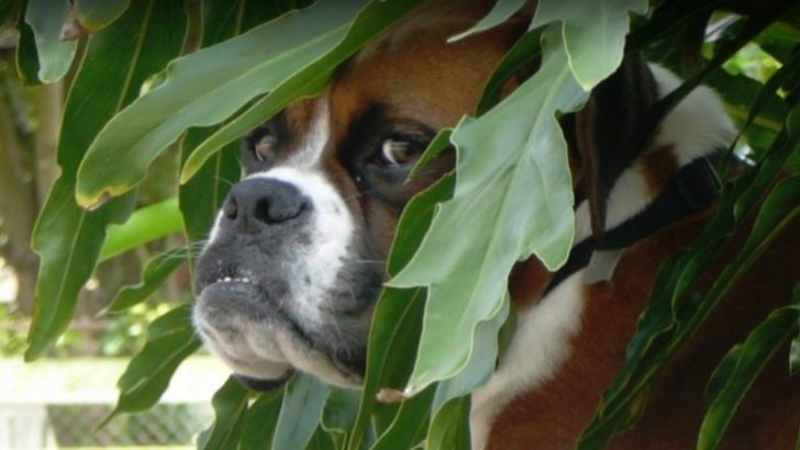 boxer dog picture in the bush