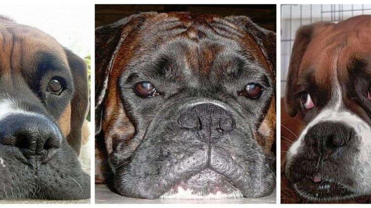 picture of three boxer dogs
