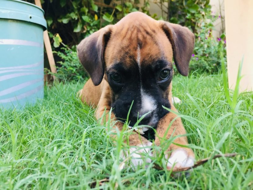 picture of a cute boxer dog puppy