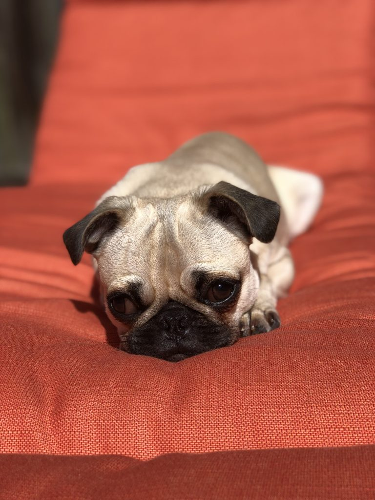cute pug picture on petrage