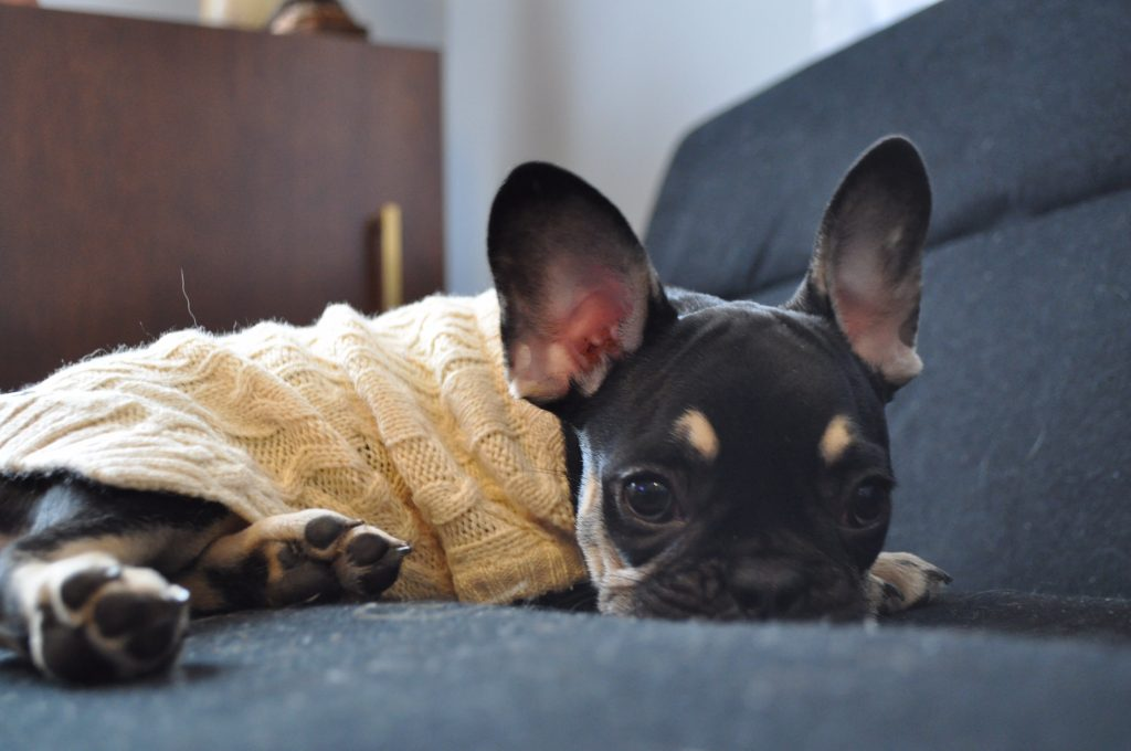 picture of a cute french bulldog puppy