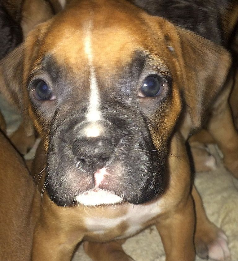 boxer puppy cute image