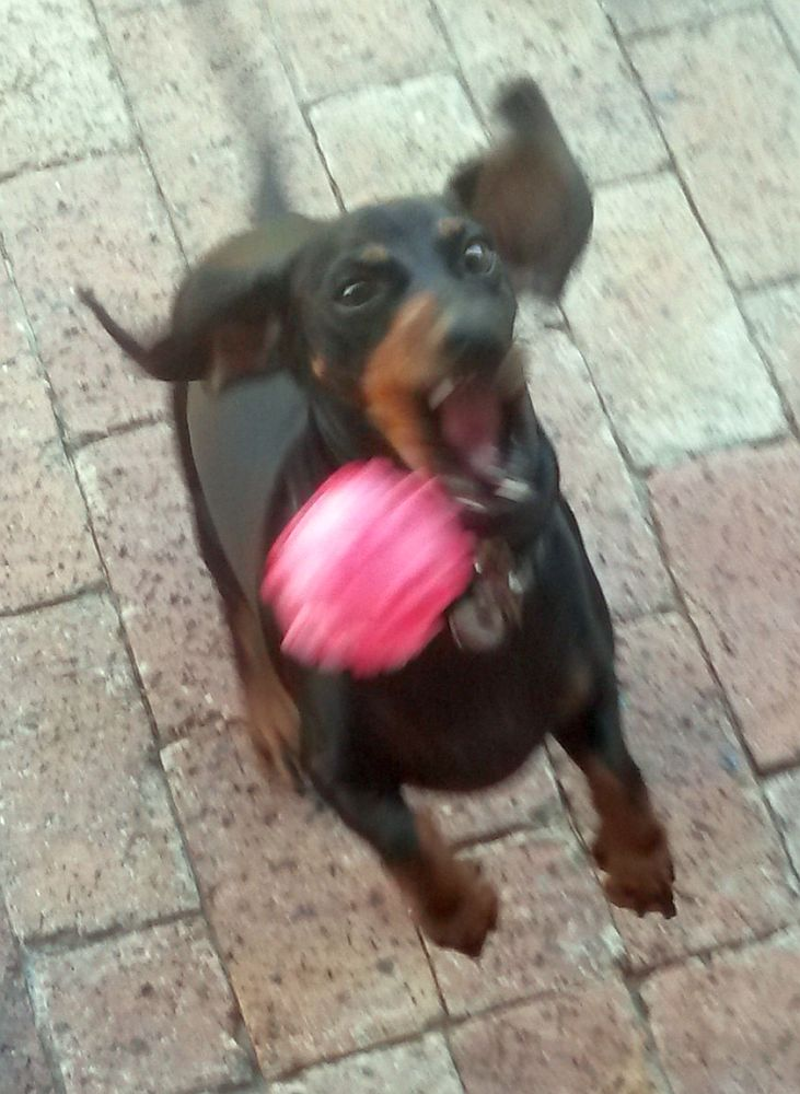 dog jumping for ball image