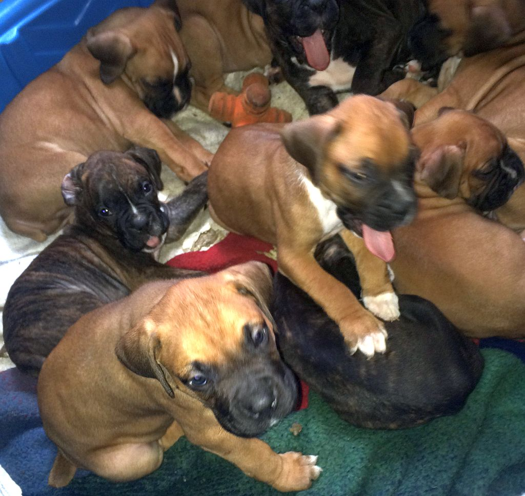 Photo of 9 Baby Boxer Dog Puppies