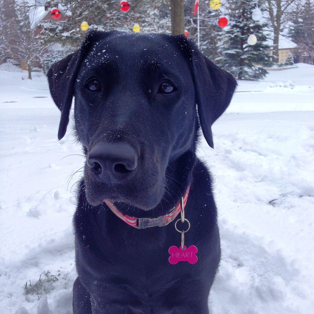 picture of a dog in the snow hart