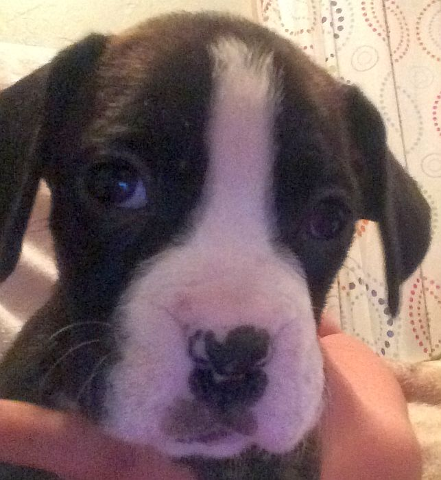 tiny boxer dog picture