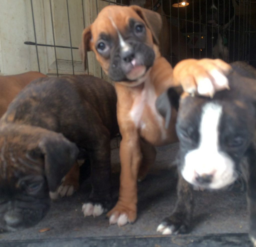 tiny boxer puppy picture