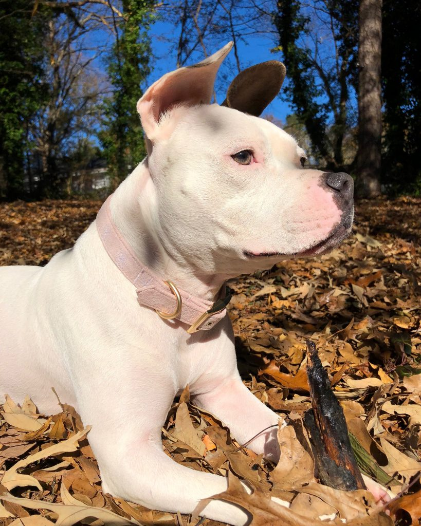 picture of a white staffy