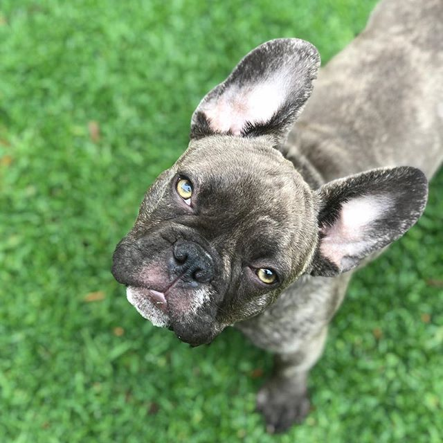 bowie the frenchie