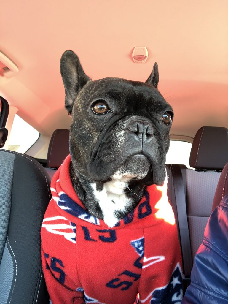 french bulldog serious face great image