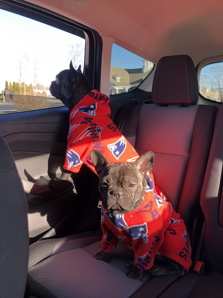 french bulldogs in the car image