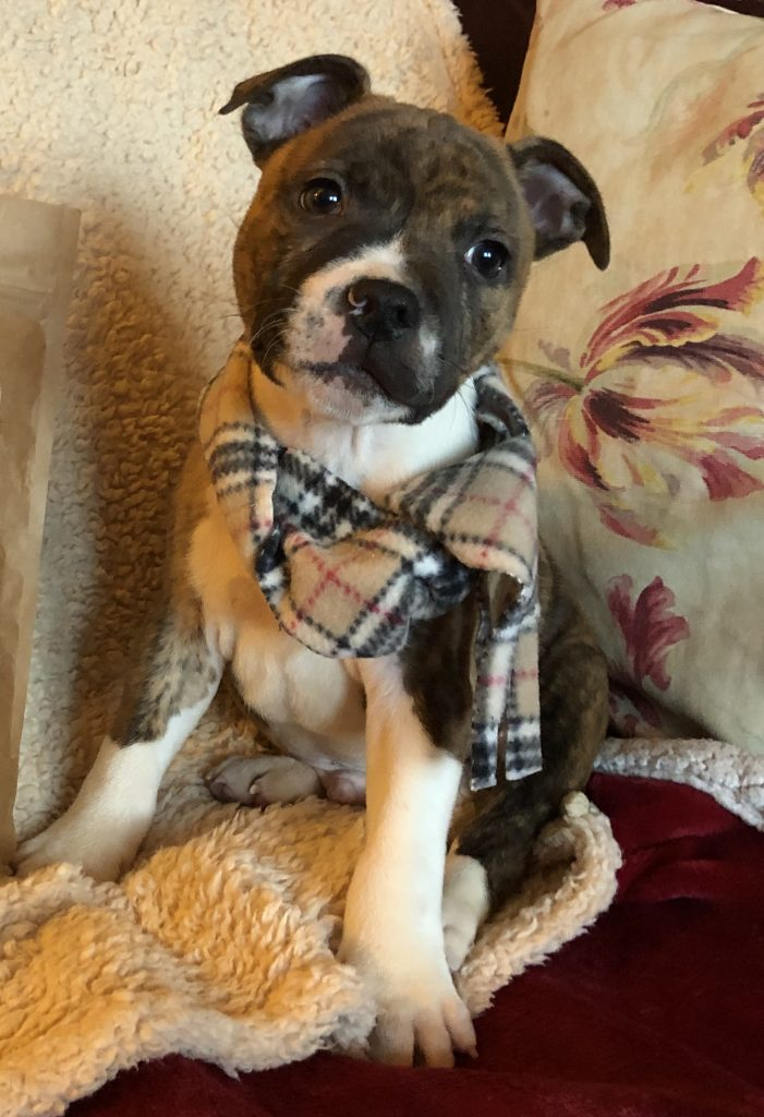 image of my dog wearing a scarf