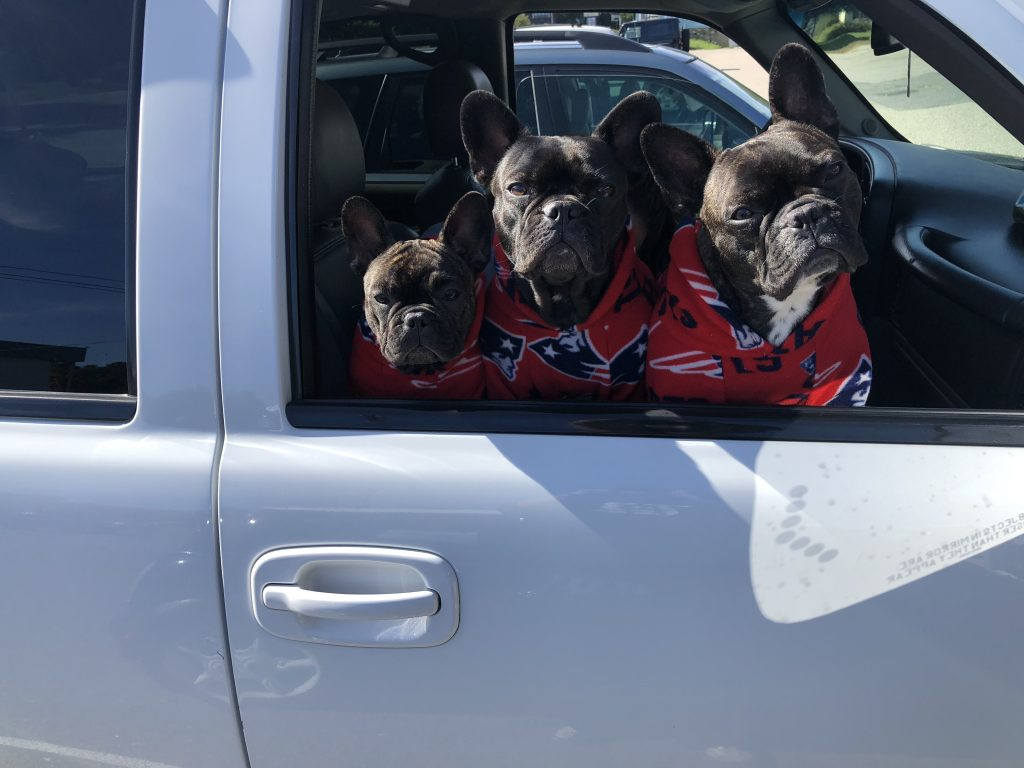 three french bulldogs in the car