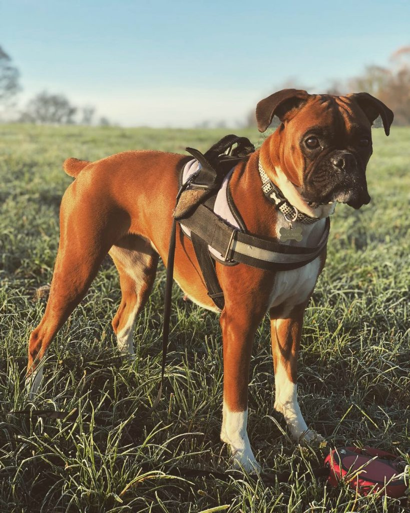 strong boxer dog picture