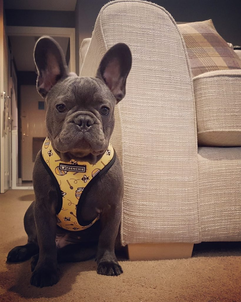 french bulldog what a face