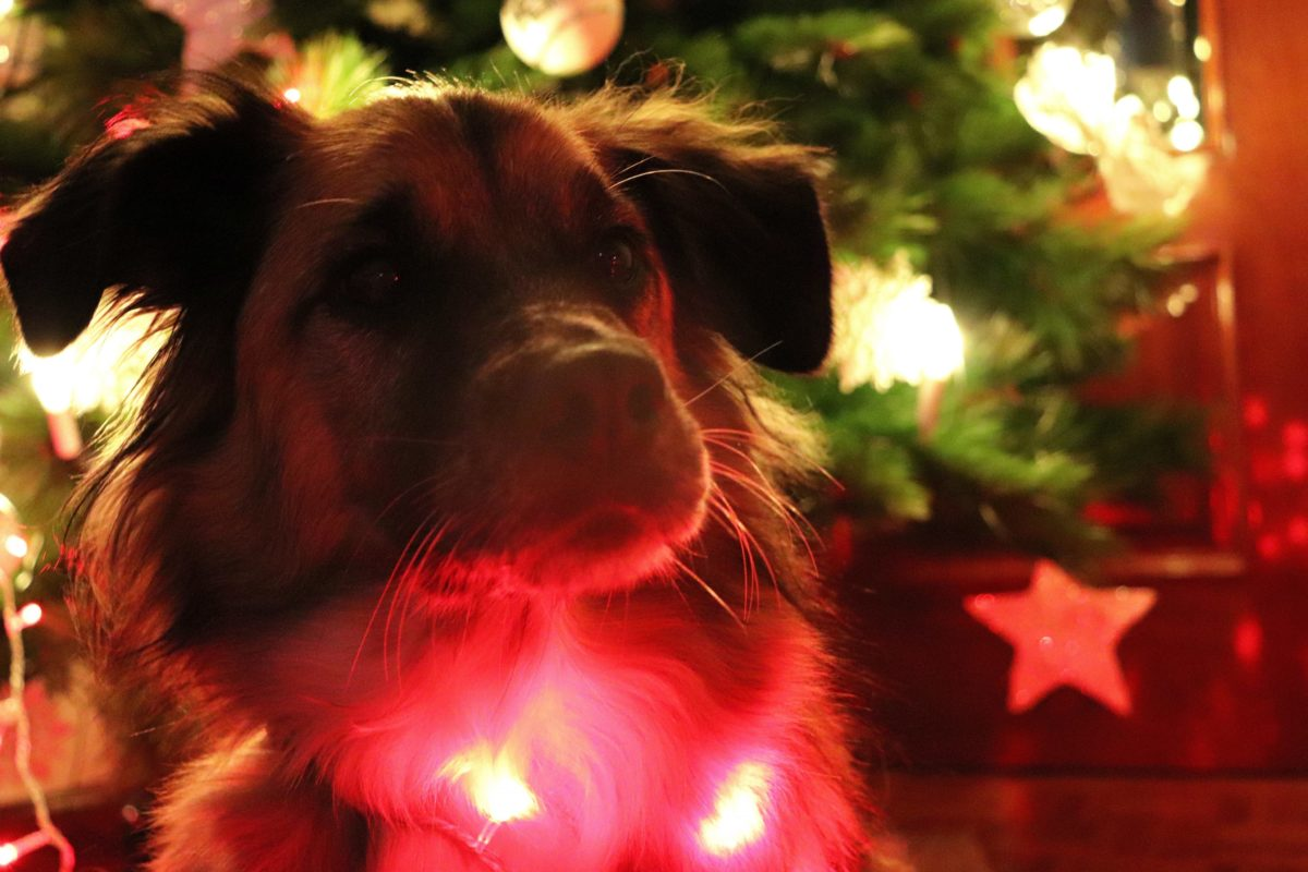 my dog in colored lights