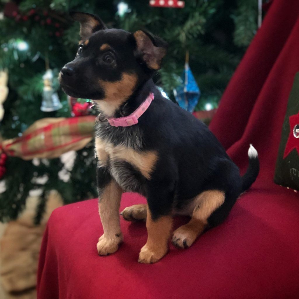 puppy waiting for christmas picture