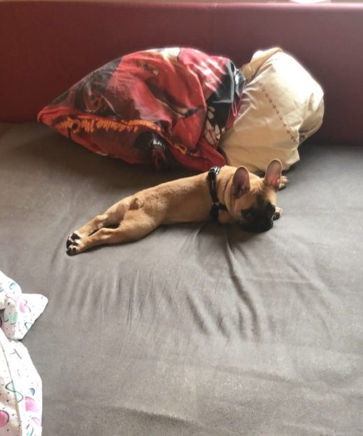 frenchie on the bed