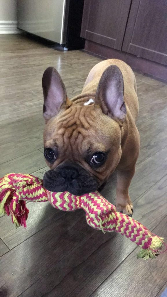 french bulldog wants to play