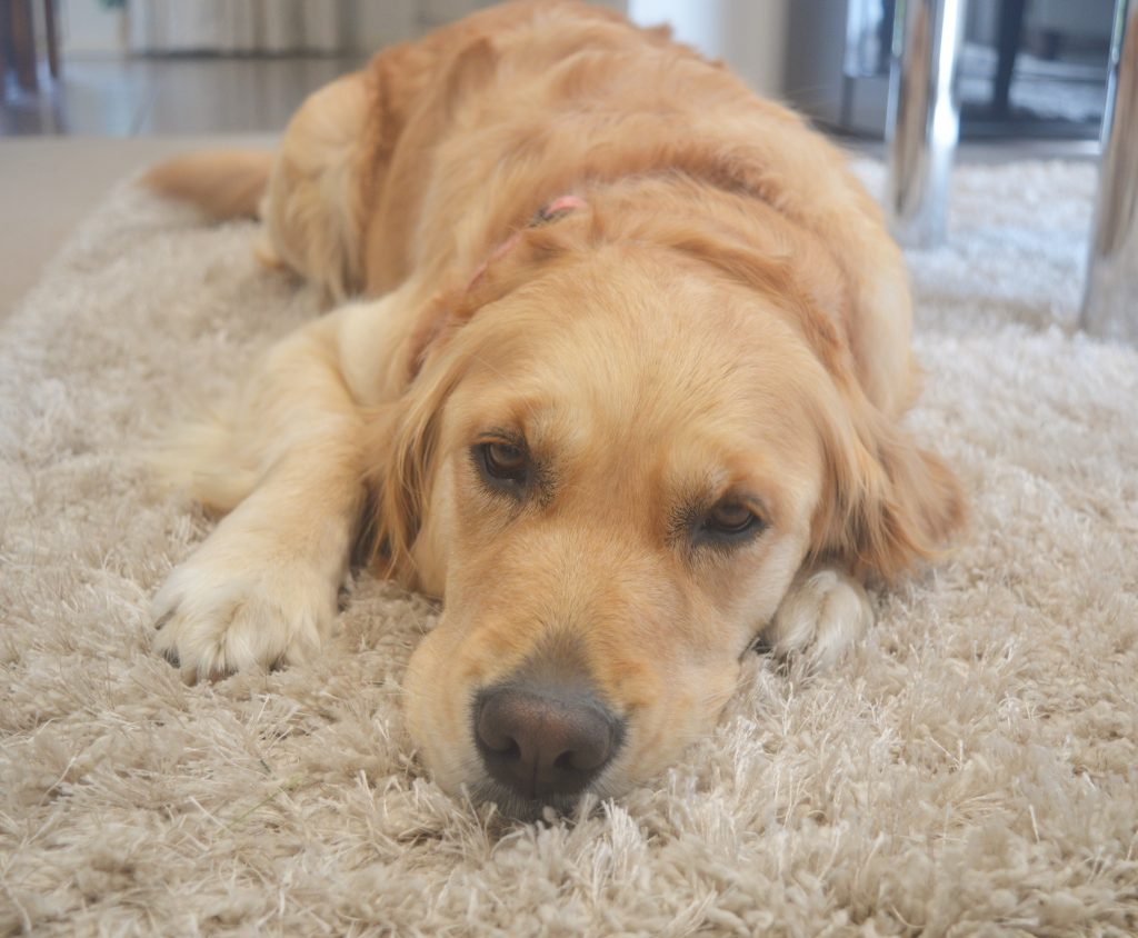 dog chilling picture golden retriever
