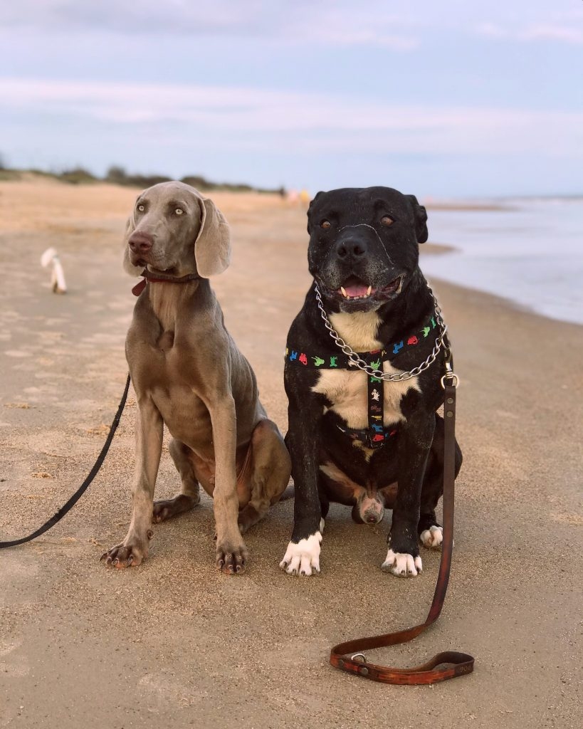 two strong dogs on the beach