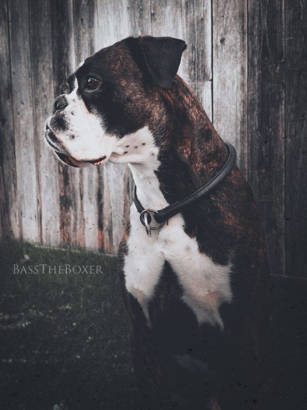bass the boxer dog
