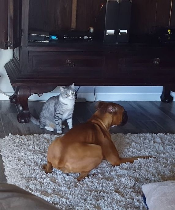 boxer dog and cat video