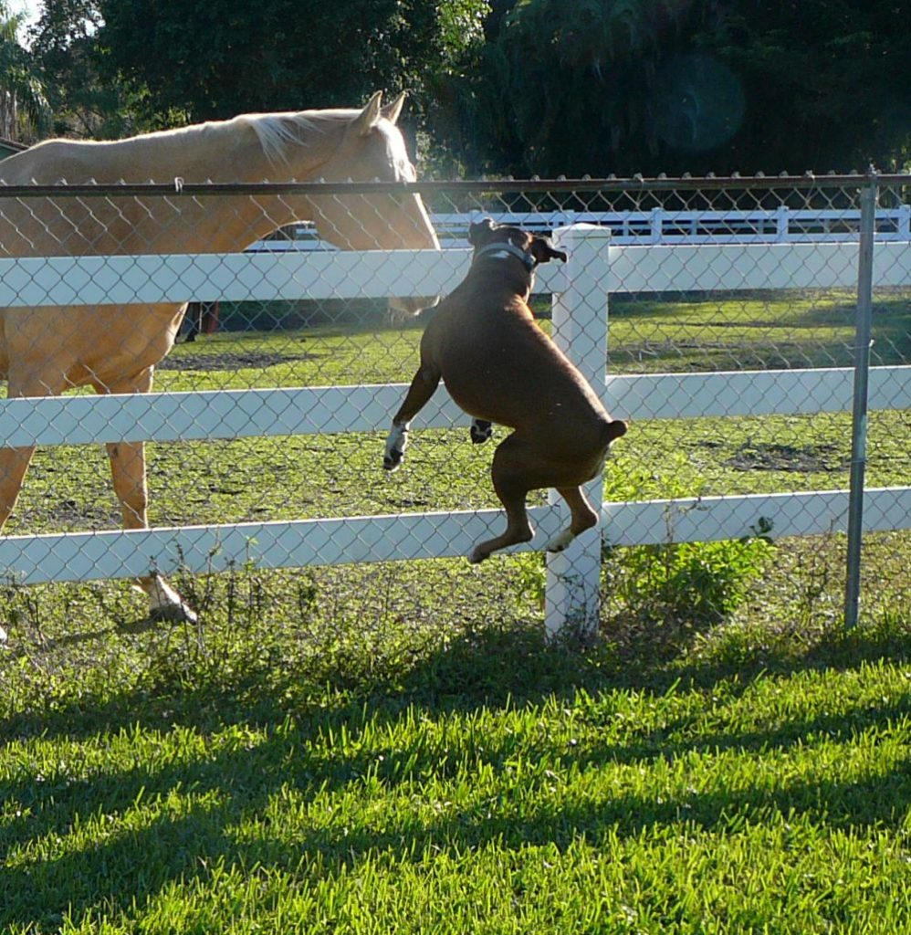 boxer-dog-jumping-on-horse