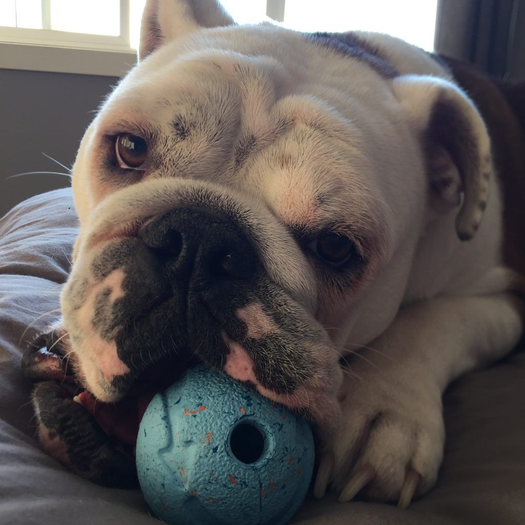 bulldog and chew toy picture
