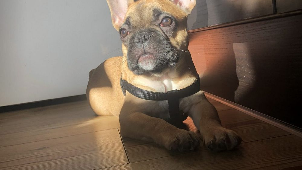 frenchie in the sun