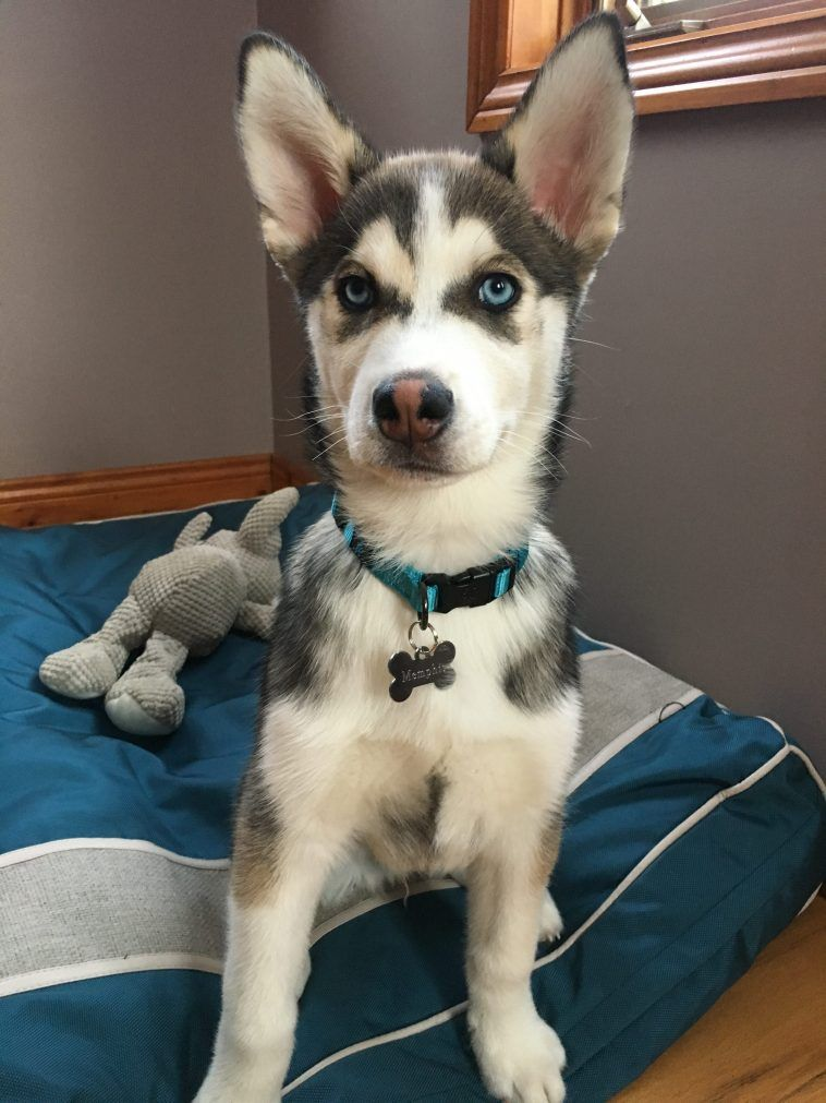 husky dog and toys on the bed