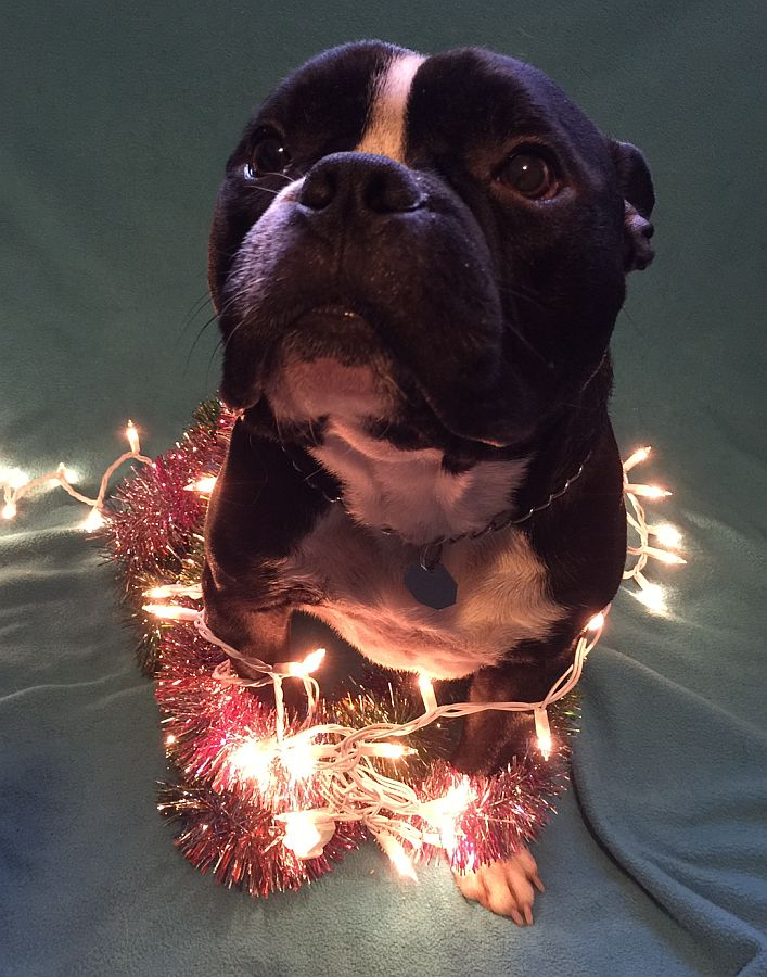my dog cleaning up christmas lights