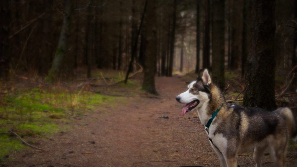 odin the husky looking for fairies