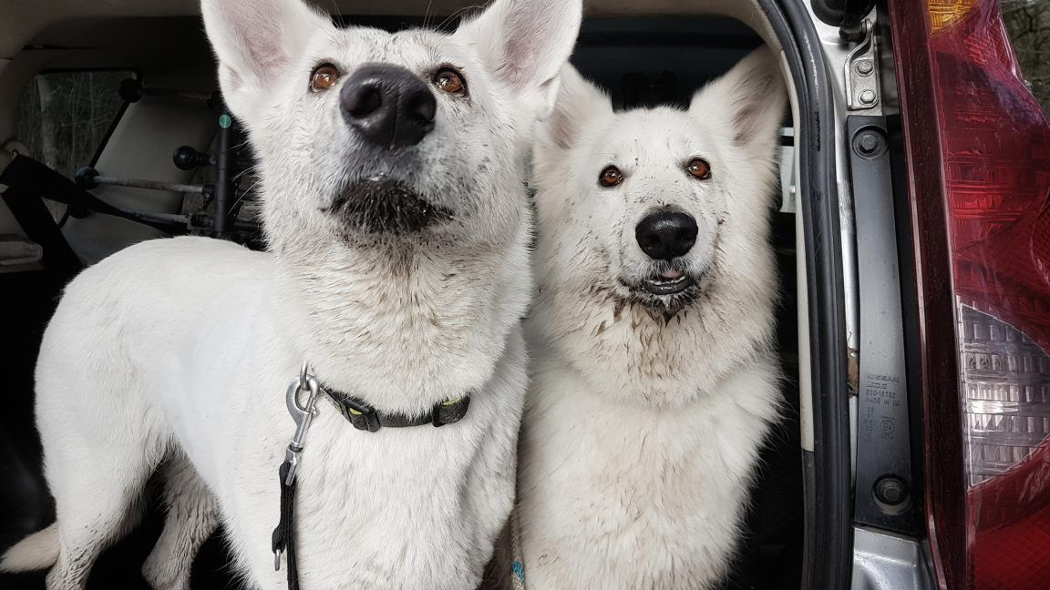 two white dogs best friends
