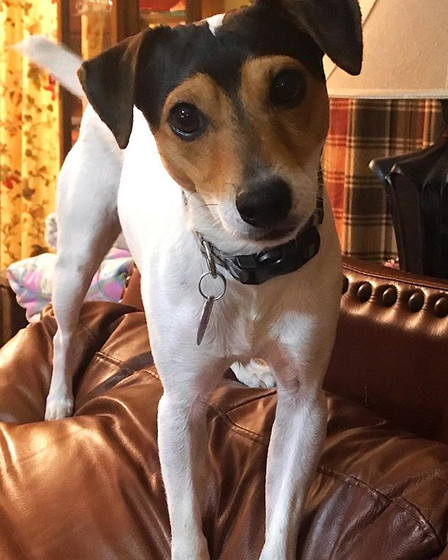 jack russel what did you say picture